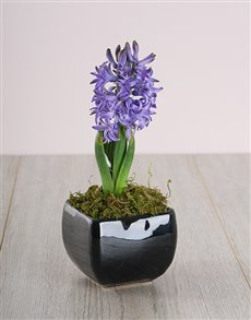flowers: Blue Hyacinth in a Black Ceramic!