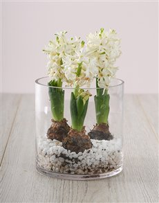 flowers: 3 White Hyacinths in a Cylinder Vase!