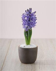 flowers: Blue Hyacinth in a Chalk Vase!