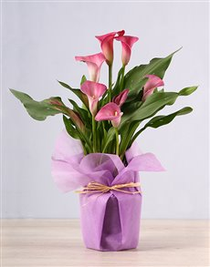 flowers: Pink Zantedeschia Plant!