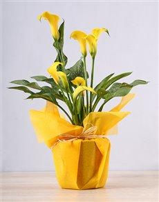 flowers: Yellow Zantedeschia Plant!