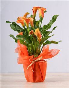 plants: Orange Zantedeschia Plant!