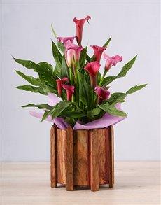 plants: Pink Zantedeschia Picket Fence!