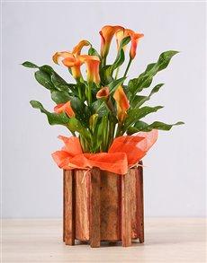 plants: Orange Zantedeschia Picket Fence!