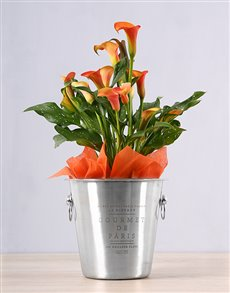 plants: Orange Zantedeschia Ice Bucket!