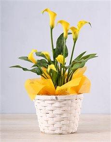 flowers: Yellow Zantedeschia Basket!
