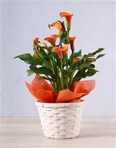 plants: Orange Zantedeschia Basket!