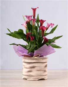 flowers: Pink Zantedeschia in Ceramic Pot!