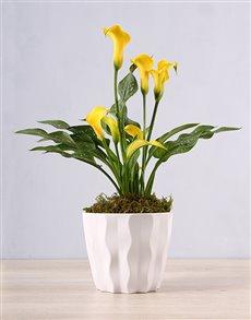 flowers: Yellow Zantedeschia in White Container!