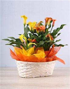 plants: Sunny Zantedeschia Basket!
