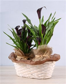 plants: Mysterious Zantedeschia Basket !