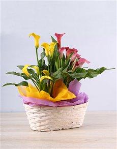 flowers: Vibrant Zantedeschia Basket!