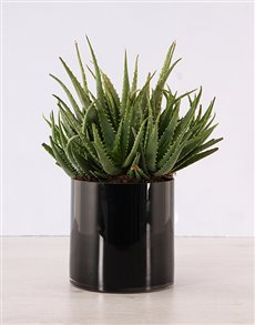 plants: Aloe Plant in Black Cylinder Vase!