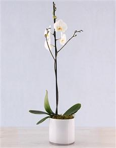 plants: Singapore Sling Phalaenopsis Orchid!
