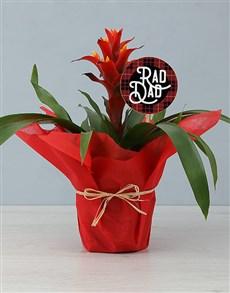 flowers: Hawaiian Sunset Guzmania Plant!