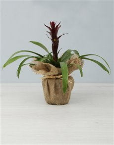 plants: Maroon Guzmania Plant!