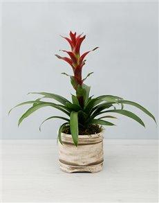flowers: Blushing Guzmania Plant!
