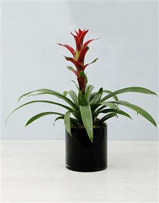 flowers: Guzmania In Black Cylinder Vase!