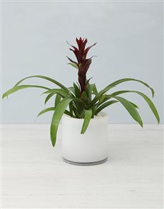 plants: Guzmania In White Cylinder Vase!