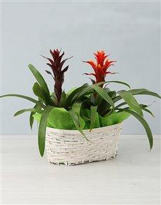 flowers: Mixed Guzmania Basket!
