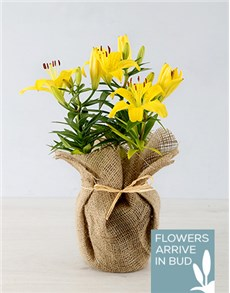 plants: Yellow Asiatic Lily in Hessian Wrapping!