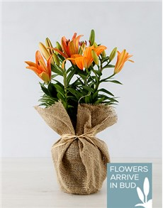 plants: Orange Asiatic Lily in Hessian Wrapping!