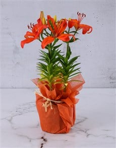 plants: Orange Asiatic Lily in Orange Wrapping!
