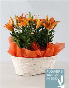 plants: Double Asiatic Lily Basket!