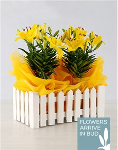 plants: Asiatic Lily in Picket Fence!