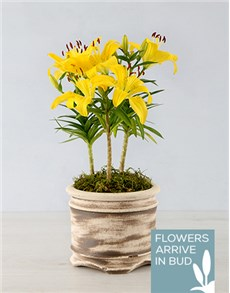plants: Asiatic Lily in Round Ceramic Pot!