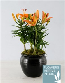 plants: Orange Lily in Black Pottery Container!