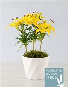 plants: Asiatic Lily Pot!
