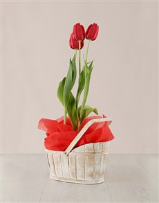plants: Red Tulip Plant in White Wash Basket!