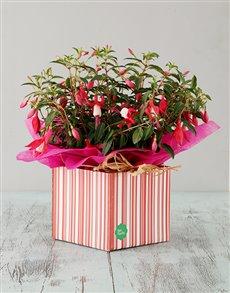 flowers: Pink Fuchsia Box!