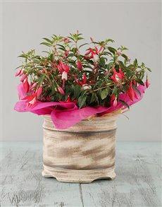 gifts: Pink Fuchsia in Ceramic Vase!