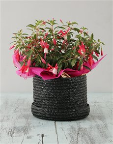 flowers: Pink Fuchsia in a Hat Box!