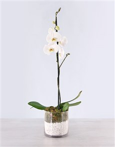 flowers: Phalaenopsis Orchid with Pebbles!