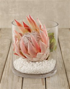 flowers: King Protea in Short Cylinder Vase!