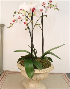 plants: Phalaenopsis Orchids in Tuscan Styled Vase!