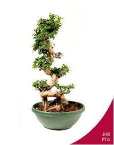 plants: S Type Ficus Bonsai!