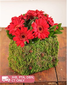 flowers: Mini Red Gerberas in a Moss Basket!