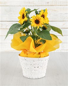 plants: Sunflowers in White Basket!