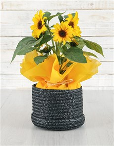 plants: Sunflower Pot in Black Basket!