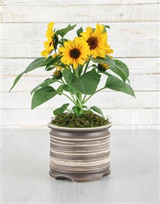 plants: Sunflowers in Natural Pot!