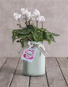 plants: White Cyclamen in Mint Container!