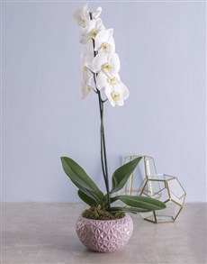 plants: White Phalaenopsis Orchid in Pot!
