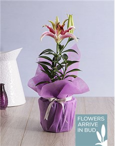 gifts: Oriental Lily Pot!