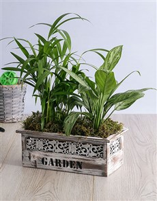 plants: Areca Bamboo and Silver Queen in Wood Planter!