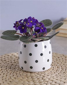 flowers: Itsy Bitsy Polka Dotted African Violet!