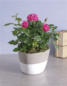 plants: Cerise Rose Bush In Cement Feel Pot!